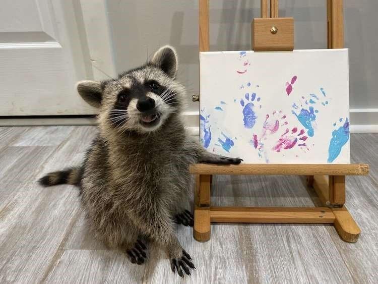 Mapaches artistas crean obras de arte con sus patas