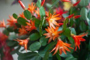Todas las claves para cultivar cactus de Navidad y llenar tu casa de color