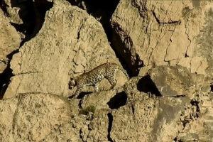 Avistan una pareja de leopardos de Persia, una subespecie muy rara, en Pakistán