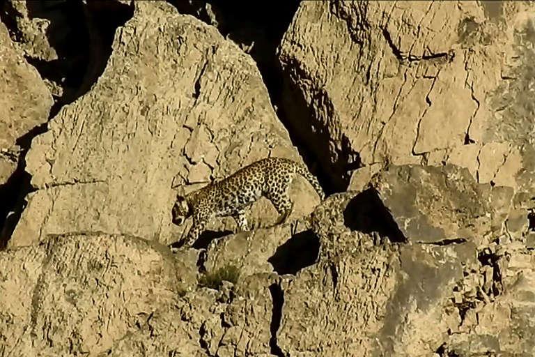 En este momento estás viendo Avistan una pareja de leopardos de Persia, una subespecie muy rara, en Pakistán