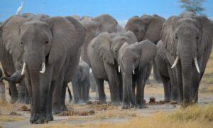 Lee más sobre el artículo Una misteriosa marcha de elefantes tiene en vilo a China: ya recorrieron 500 kilómetros y causaron daños por un millón de dólares